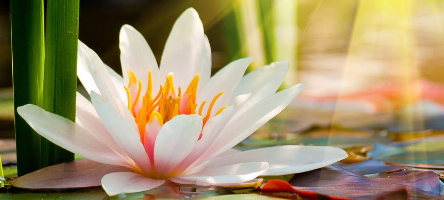 Wellness And Symbol Of The Lotus Flower Inner Balanceinner Balance